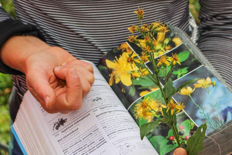 Heilpflanze Johanniskraut